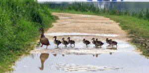 duck and with ducklings crossing a path